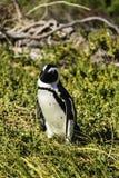 Um pinguim na praia de Boulder na baía falsa imagens de stock royalty free
