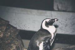 Um pinguim que senta-se em uma rocha em um aquário Vista fora à direita foto de stock