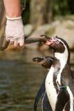 Um pinguin está sendo alimentado Imagens de Stock