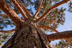 Um pinho enorme apressou-se no céu O close-up e a textura do tronco entram em ramos Céu azul Fundo perfeito da natureza para algu imagens de stock