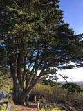 Um pinho solitário, o pinus, e o trajeto dobrar-se-ão para a árvore, 2 foto de stock royalty free