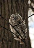 Um pintainho de uma coruja cinzenta na floresta do inverno imagem de stock