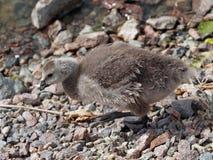 Um pintainho do ganso de Canadá Foto de Stock