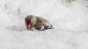 Um pintainho do redpoll está alimentando na neve com sementes caídas na primavera Peito vermelho vídeos de arquivo