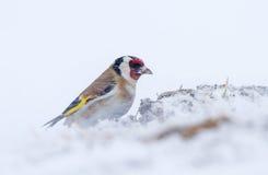 Um pintassilgo em uma tempestade da neve em abril Imagens de Stock Royalty Free