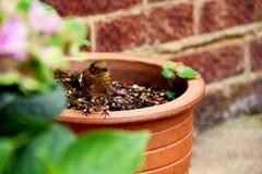 Um pisco de peito vermelho do juvenil empoleira-se em um vaso de flores do jardim, porque procura o alimento Foto de Stock Royalty Free
