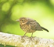 Um pisco de peito vermelho novo: apenas esquerda o ninho. Fotos de Stock Royalty Free