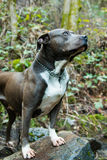 Um pitbull na natureza Imagem de Stock Royalty Free