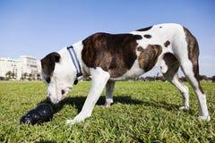 Cão de Pitbull com o brinquedo da mastigação no parque Imagens de Stock Royalty Free
