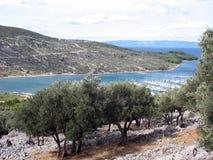 Um plantage da oliveira imagens de stock royalty free