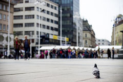 Um pombo Foto de Stock