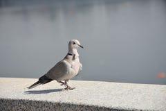 Um pombo bonito imagens de stock