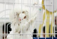 Um pombo bonito de Jacobin com capa emplumada imagens de stock