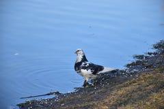 Um pombo bonito fixou seu olhar na distância fotos de stock
