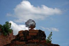 Um pombo branco bonito na coluna arruinada, fotografia de stock