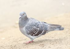 Um pombo cinzento Foto de Stock Royalty Free