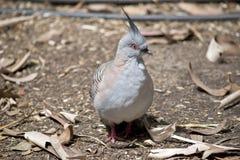 Um pombo com crista fotos de stock