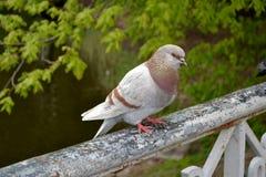 Um pombo com penas bonitas Foto de Stock