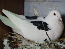 Um pombo da mãe foto de stock royalty free