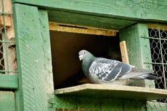 Um pombo de portador ou pombo do mensageiro fotos de stock