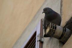 Um pombo em um tubo Fotografia de Stock Royalty Free