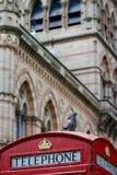 Um pombo em uma caixa de telefone britânica (retrato) Imagem de Stock Royalty Free