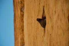 Um pombo espreita de um furo em uma parede fotos de stock