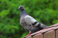 Um pombo está em um parque municipal Imagem de Stock Royalty Free