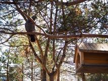 Um pombo está esperando o alimento no brach da árvore perto de um comedoiro para pássaros imagens de stock royalty free
