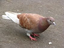 Um pombo na cidade foto de stock
