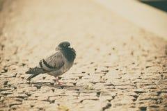 Um pombo na cidade fotos de stock royalty free