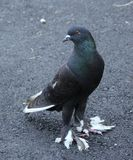 Um pombo Pena-footed Imagem de Stock Royalty Free