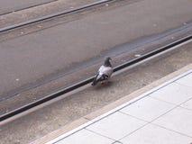 Um pombo que anda na estrada de ferro Fotos de Stock