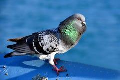 Um pombo que levanta para uma foto Imagens de Stock