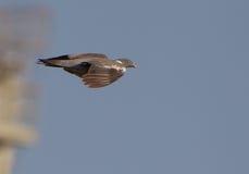 Um pombo torcaz no vôo fotos de stock