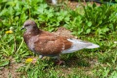 Um pombo urbano ordinário imagem de stock