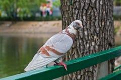 Um pombo urbano ordinário fotografia de stock