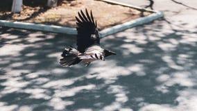 Um ponto baixo triste s? do voo do corvo no parque Batendo a asa do corvo cinzento da cidade foto de stock