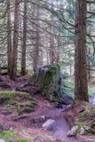 Um ponto isolado no bosque da cicuta no parque nacional de geleira de Canadá foto de stock royalty free