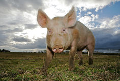 Um porco fotografia de stock royalty free