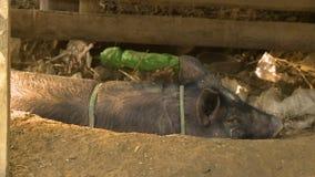 Um porco da vila que descansa sob uma máscara, Myanmar video estoque