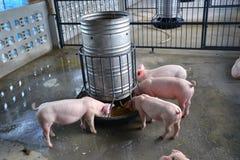 Um porco pequeno come Fotografia de Stock