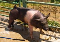 Um porco que está sendo lavado após uma feira de condado em Colorado Foto de Stock