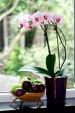 Um potenciômetro da orquídea de traça Foto de Stock Royalty Free