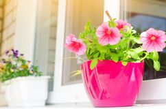 Um potenciômetro de petúnias cor-de-rosa está na janela, nas flores bonitas da mola e do verão para a casa, o jardim, o balcão ou foto de stock