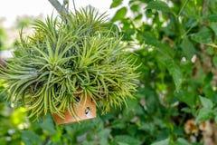 Um potenciômetro de flor de suspensão em um jardim Imagem de Stock