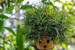 Um potenciômetro de flor de suspensão em um jardim Foto de Stock