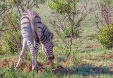 Um potro da zebra come a sujeira para suplementar sua dieta imagens de stock