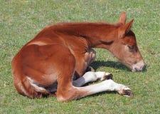 Um potro dorme Imagens de Stock Royalty Free