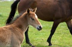 Um potro novo do cavalo, potro que está em um hidromel do campo imagens de stock royalty free